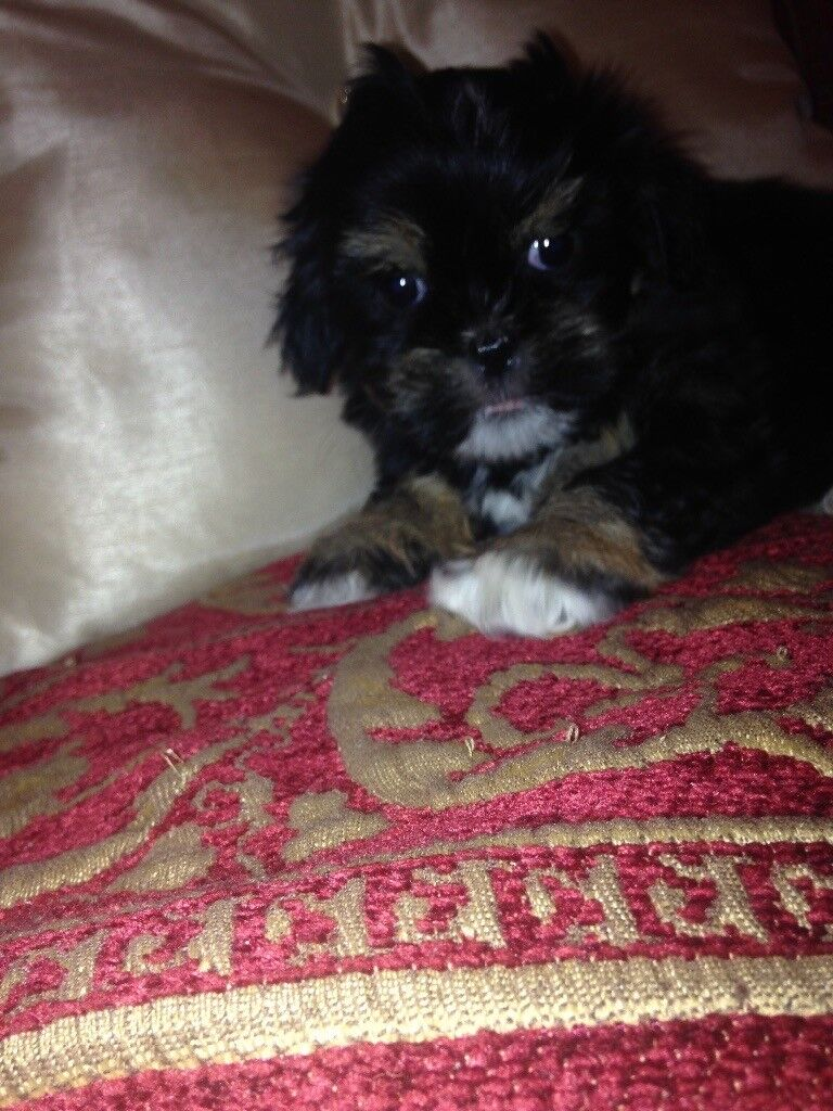 Beautiful black Shih zhu girl Puppie Looking for a forever Home