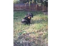Mini dachshund x puppies