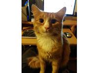 Ginger long hair cat for FREE
