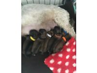 KC Registered Lhasa Apso puppies for sale