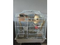 3 zebra Finches for sale and cadge