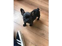 French bull dog male pup 12 weeks