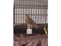 Goldfinch x canary mule (male bird)