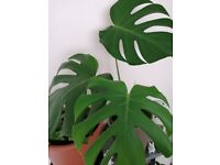 Medium/large size Swiss Cheese indoor house plant / big Monstera Deliciosa house plant in pot