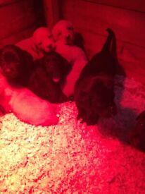 KC reg Labrador pups*2 black pups 1 female 1 male left*
