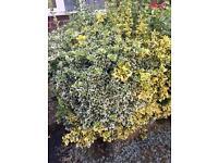 Large shrub - FREE
