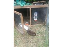 Two guinea pigs free to good home