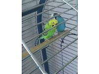 2 baby (5 month) budgies with large cage (parrot style)