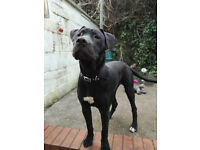 presa canario spanish mastiff needs loving home