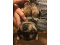 Pugshires Pug X Yorkie puppies ready 30/12/2016 all boys now reserved/ only three girls left