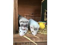 Ferret kits