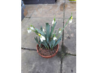 15 Yellow Snowdrops, RARE yellow Galanthus cultivar, 15 yellow hybrid snowdrops for collectors