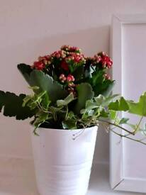 Calanchoe plant Red white pot