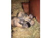 2 dwarf rabbits for sale 7 months old