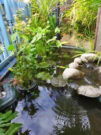Koi Carp Goldfish and Golden Orf Read Description