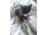 Gorgous black and white kitten ready in 2 weeks