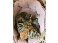 BENGAL CROSS KITTENS (1 Silver and 1 Ginger)- BORN 19th October 2021