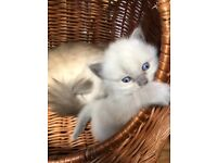 Pure ragdoll kittens 1 boy and 2 girls. 2 are blue point and one is chocolate colour point.