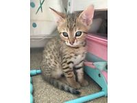 Bengal kitten ready now