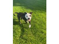 Staffordshire bull terrier male puppy