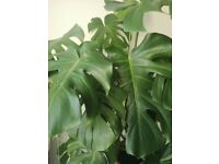 Large Monstera plant and ceramic pot for sale £150 or nearest offer