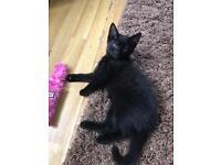 Beautiful black female kitten