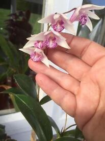 Dendrobium kingsmani orchid seedlings