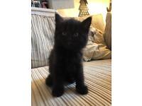 Male long haired black kitten