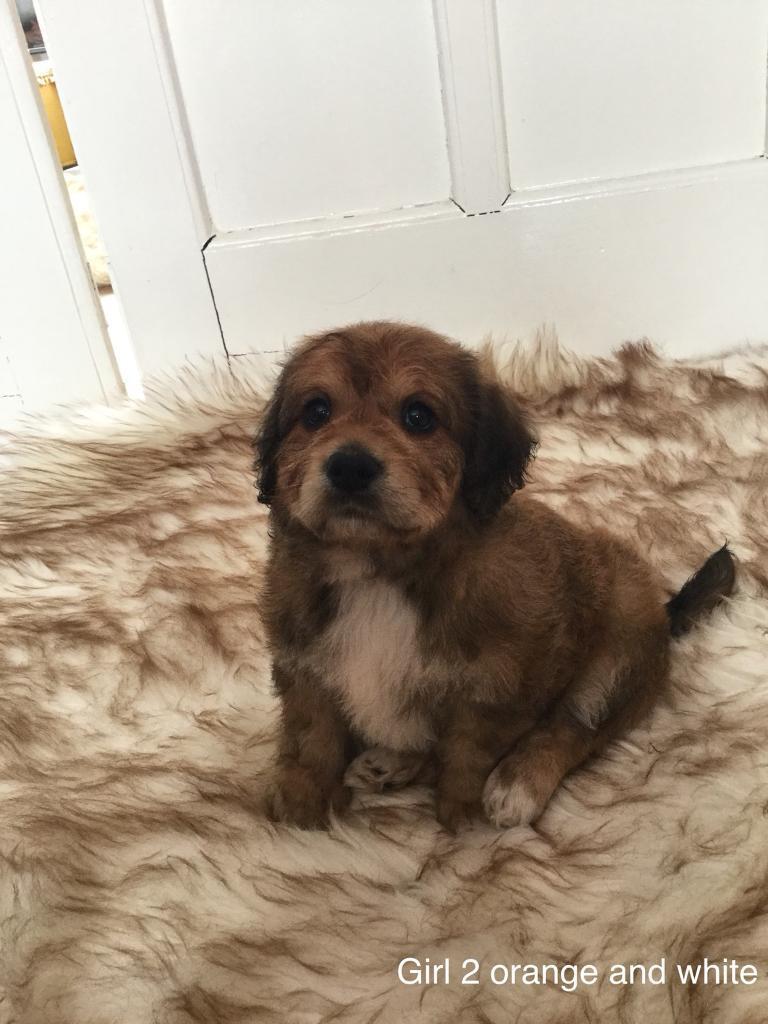 Cockapoo X Bichon Puppies For Sale