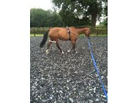**Looking for a sharer for 16.2 Warmblood***