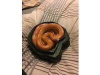 Lovely 7 year old Amel Corn Snake for **SALE**