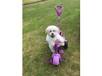 Male lhasa apso 6 months old
