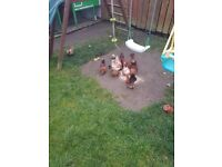 Serama chickens
