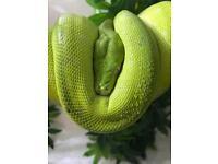 Green tree python Aru