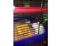2 female rats need gone asap 1 albino and 1 black and white