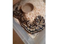 Male fire royal python for sale