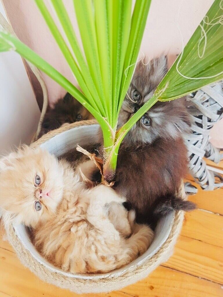 Pure Persian kittens for sale | in Seven Sisters, London | Gumtree