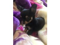 Tiny chihuahua Puppys , mum pedigree and dad kc reg teacup