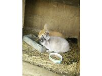 Netherland dwarf rabbits with hutch and accesories