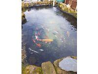 Large koi and goldfish closing pond down