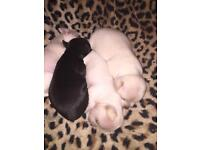 4x Chihuahua puppies for sale