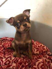 Amazing Type Chocolate/Tan Chihuahua Boy