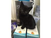 Black female kitten 8 weeks ready to go to new home
