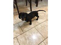 Gorgeous miniature dachshund puppies