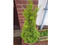 Two maturing Conifers for sale