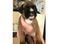 Top quality adorable boxer puppies, Champion bloodlines, KC reg, microchipped etc