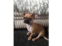 Last Stunning Chihuahua for sale