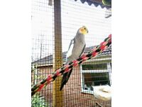 Cockatiel for sale £30 each, 4 for £100