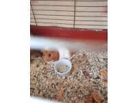 Guinea pig free
