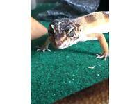 2 Female Leopard Geckos + Vivarium